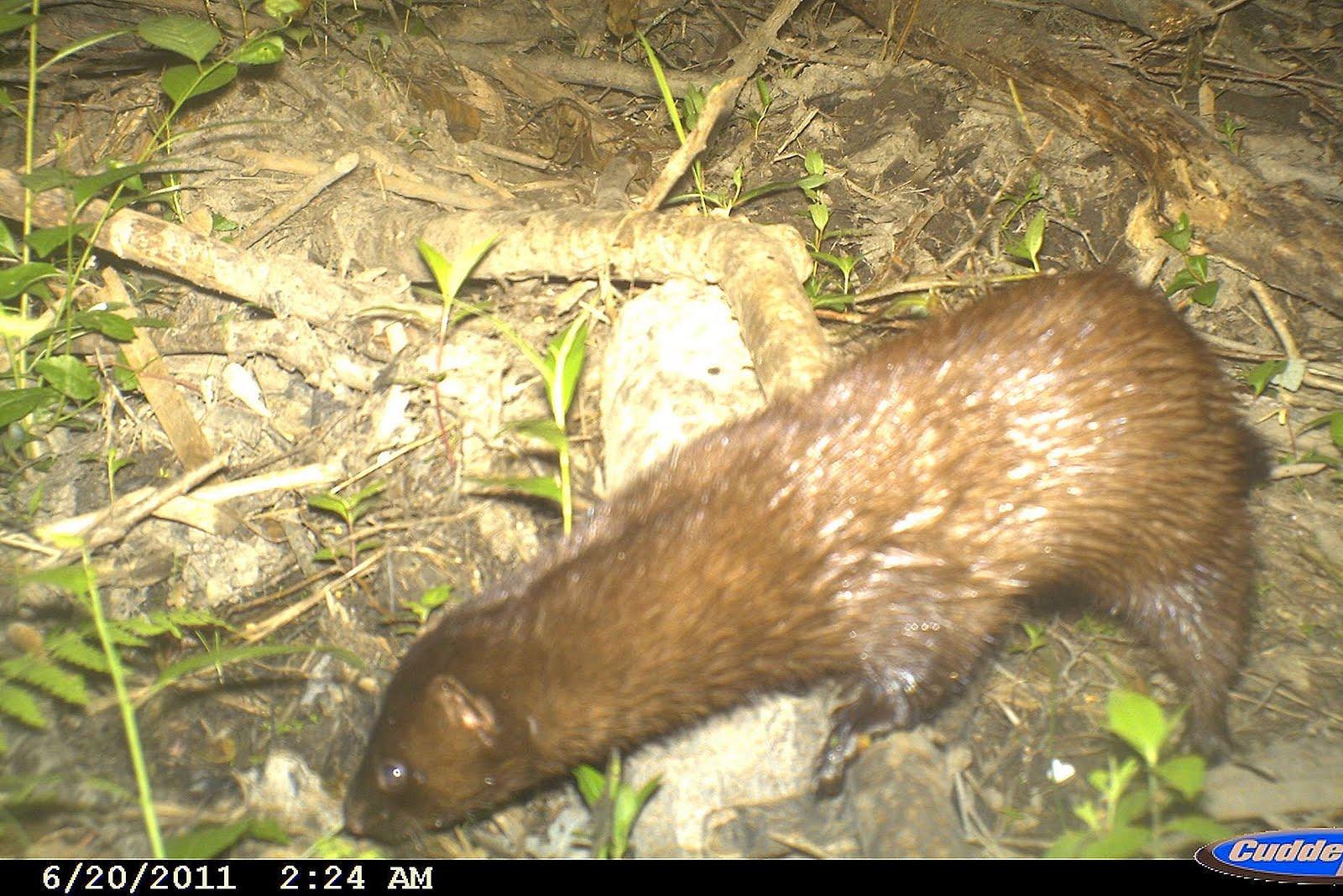 backyard beasts think mink