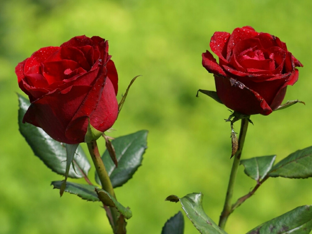 flowers for flower lovers.: Beautiful Rose flowers ...