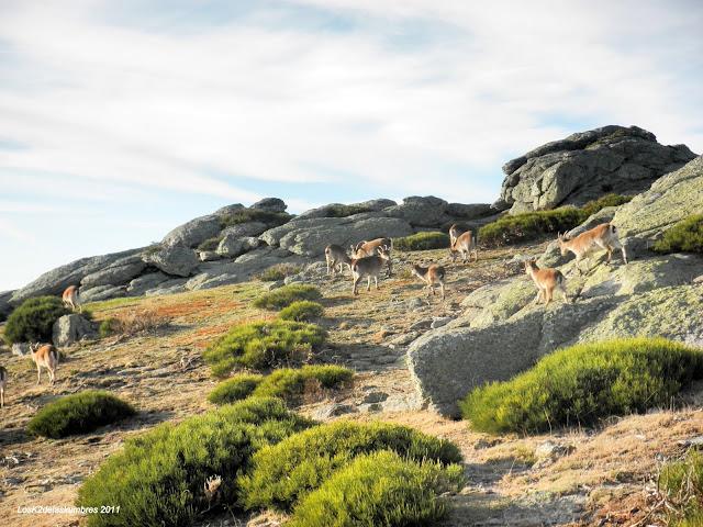 Puerto de la Morcuera a Bailanderos, cabras montesas