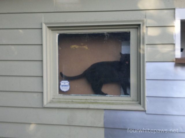 Black Cat Meowing At My Window