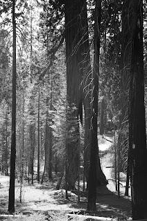 black white trees