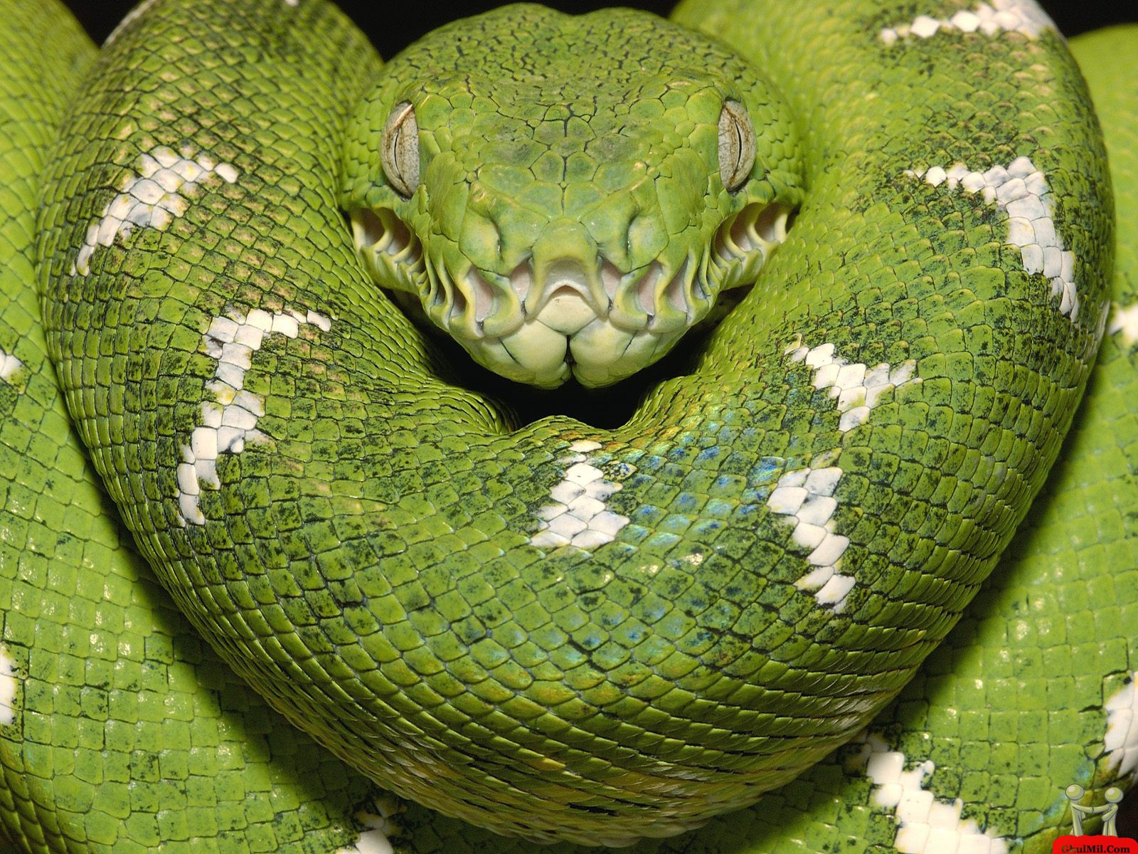 green anaconda scientific name
