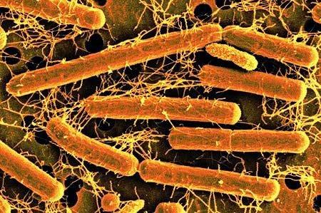 bakterie%2Bkwasu%2Bmlekowego.jpg
