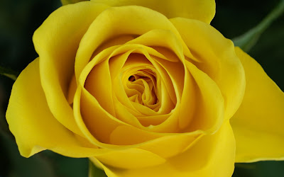 Yellow Roses 02693