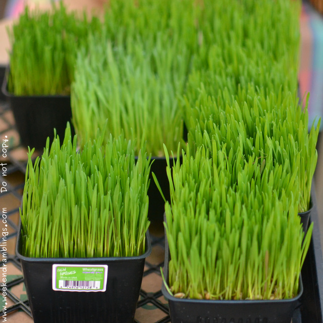 Healthy Antioxidant Superfoods Dietary Nutritional Supplements Wheatgrass