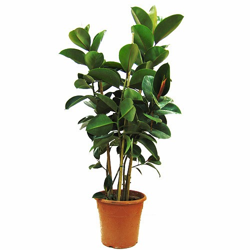 El aparejador optimista 10 plantas de interior para for Ficus interior cuidados