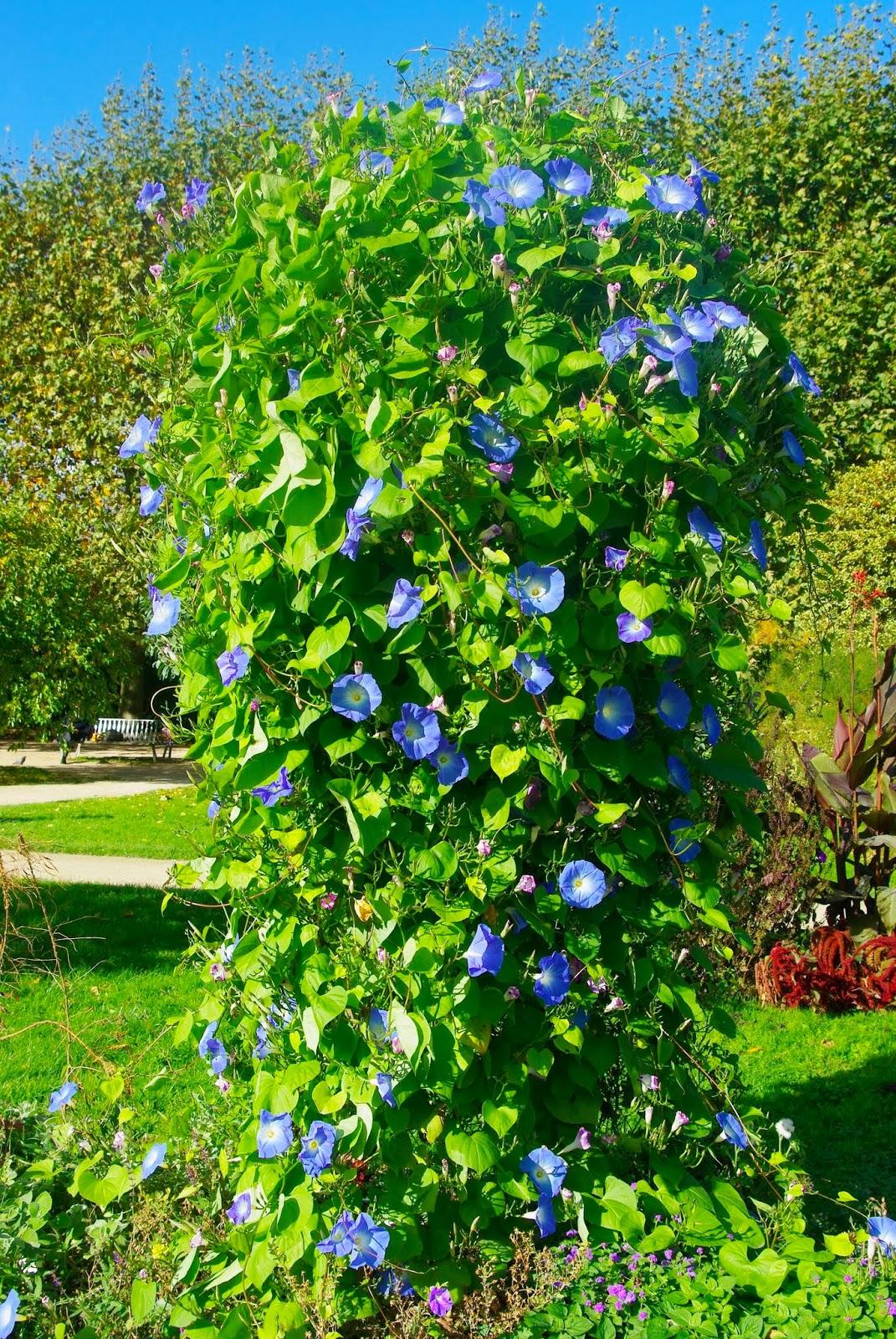 flore en valois ipom e g ante 39 bleu d 39 azur 39 ipomaea tricolor. Black Bedroom Furniture Sets. Home Design Ideas