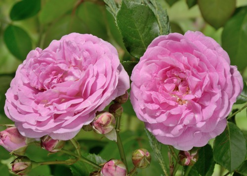 Lavender Lassie rose сорт розы фото