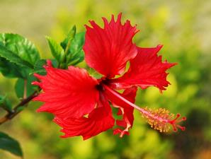 Permalink to Hibiscus flower health benefits