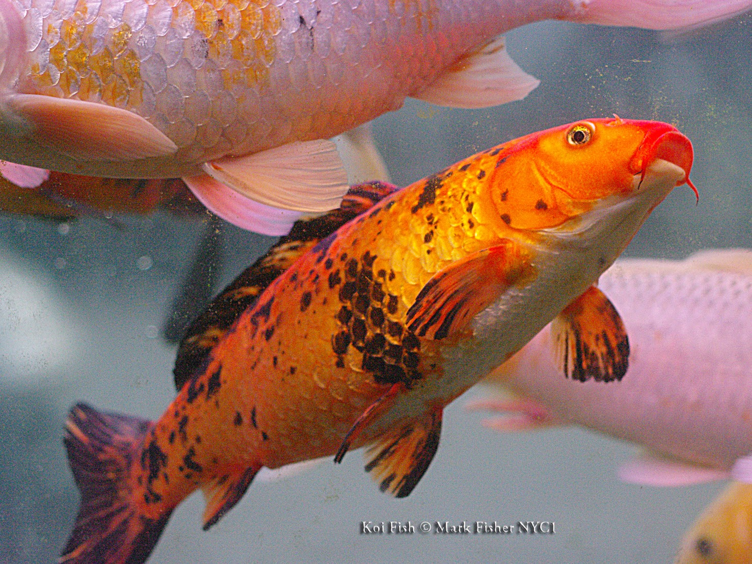 Mark fisher american photographer koi fish american for Japanese koi