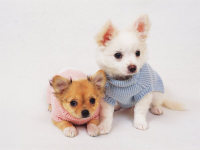 Chihuahua Puppies on Looking White And Brown Chihuahua Puppies Wearing Clothes Wallpaper