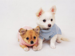 two cute looking white and brown Chihuahua puppies wearing clothes wallpaper