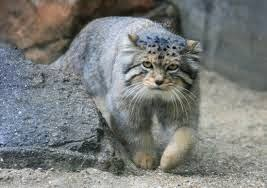 Pallas cats animals interesting facts latest pictures the pallas cats publicscrutiny Images