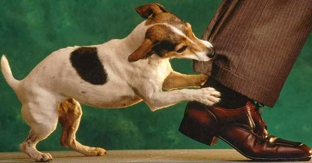 Cão mordendo a calça de um homem