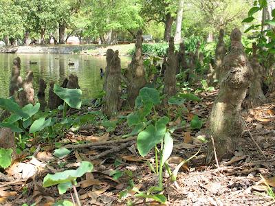 cypress knees & elephant ears:  Audubon Park, NOLA