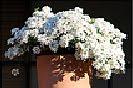 13 Fotografías de la planta que florece tres meses