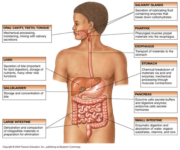 Educational Technology 2: Parts of the digestive system