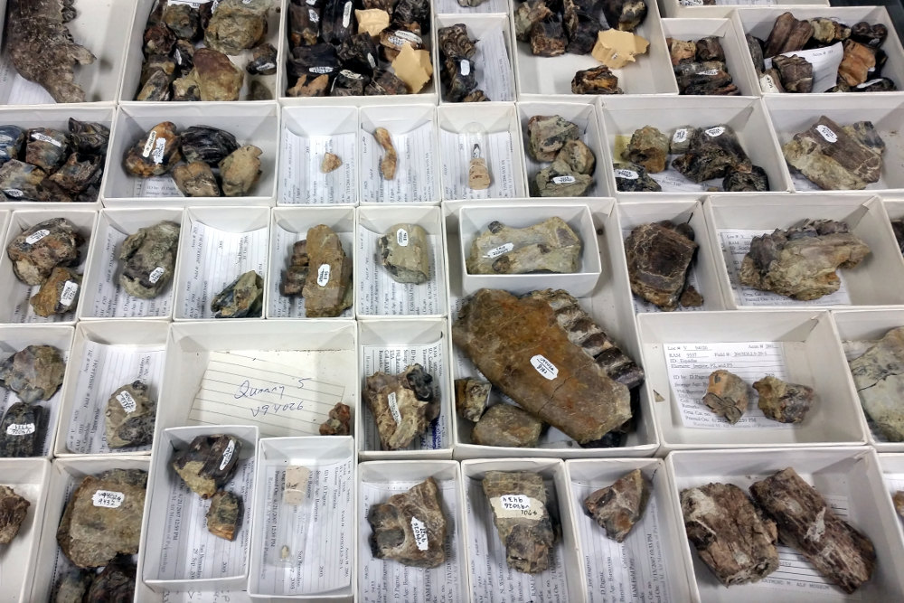 Fossil teeth in a museum drawer