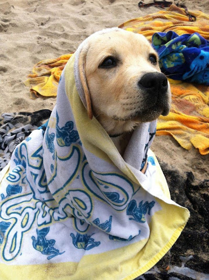 English Labrador wrapped in a towel.