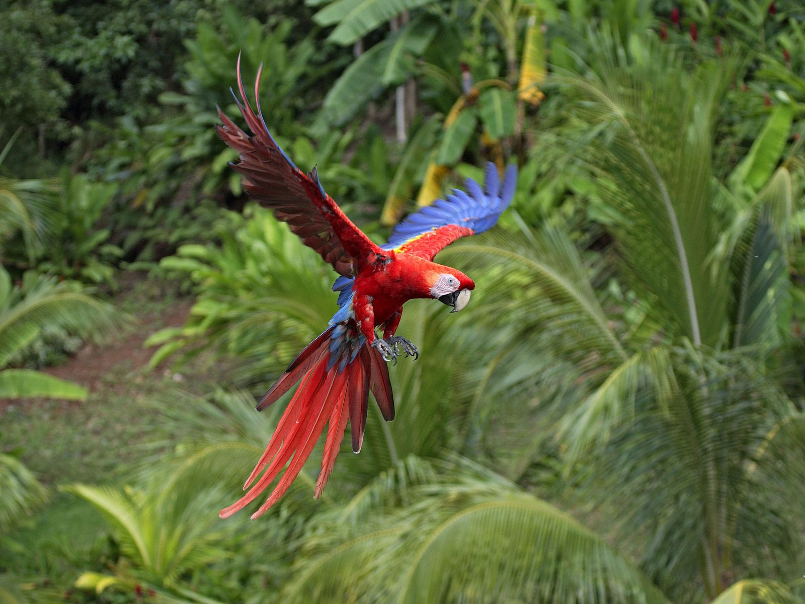 Indian Parrot Flying