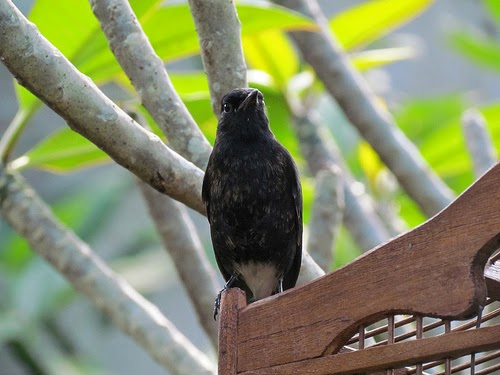 Foto Burung Kepodang Sumbawa Jantan