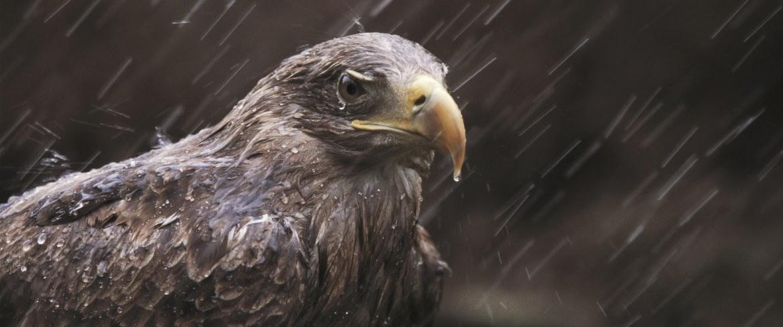 pigargo bajo la lluvia