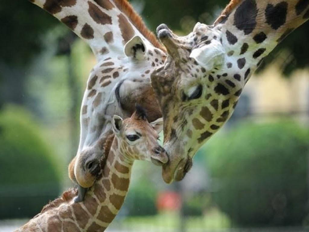 "<img src=""http://1.bp.blogspot.com/-fZe_FAe4EDU/UtlRmrQlsyI/AAAAAAAAIlk/WDxmhJVdAx8/s1600/animal-wallpapers-giraffes-love-family.jpeg"" alt=""giraffes loving family"" />"