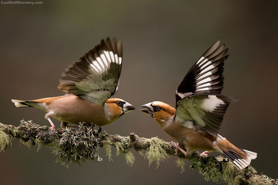 Fighting hawfinches
