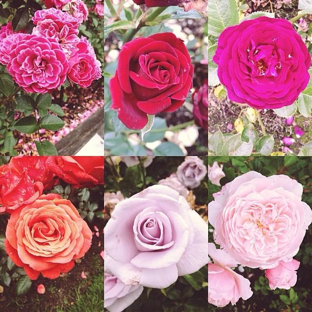Portland Roses Flowers