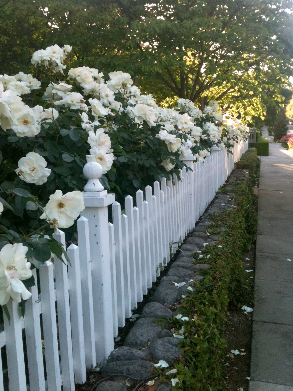 White Picket Fence With Roses Images