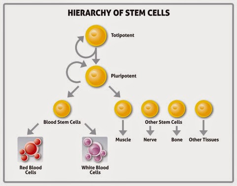 THE CELL OF LIFE! The Stem Cell of Man!