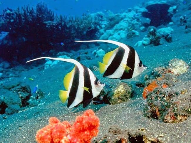 أجمل الأسماك الاستوائية الملونة   - صفحة 4 Colorful-tropical-fishes-26