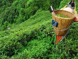 Çayın anavatanı