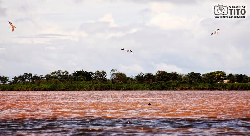 Boto-tucuxi, aves trinta-réis-grandes e o encontro das águas dos rios Amazonas e Tapajós, em Santarém, no Pará, na Amazônia