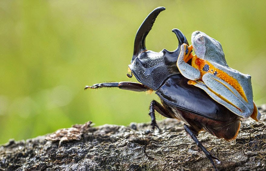 cowboy frog riding beetle animal photography-1