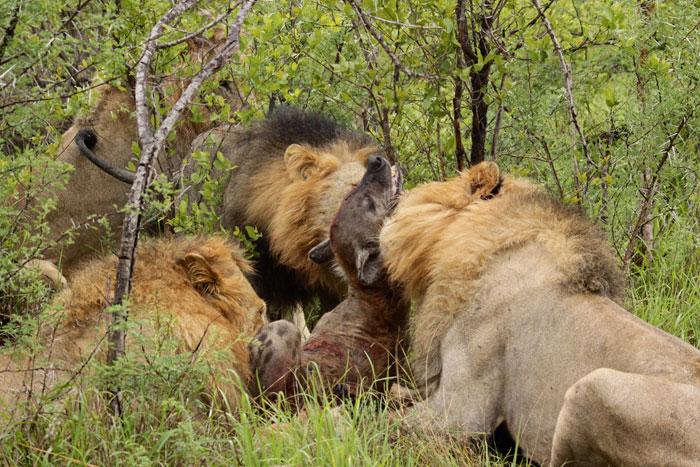 Lion Kills Hyena