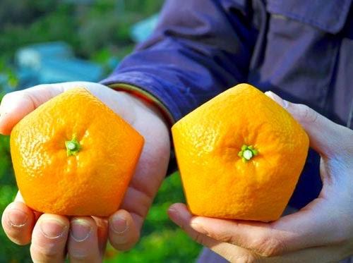 اليابان: شاهدوا بالصور زراعة برتقال خماسي