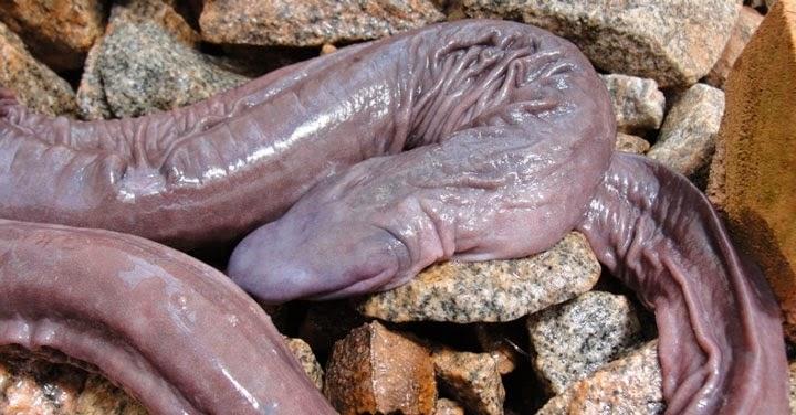 Animaux étranges le Serpent pénis dans son habitat