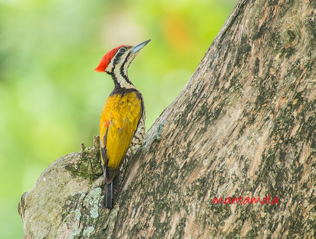 Common Flameback (Dinopium javanense)