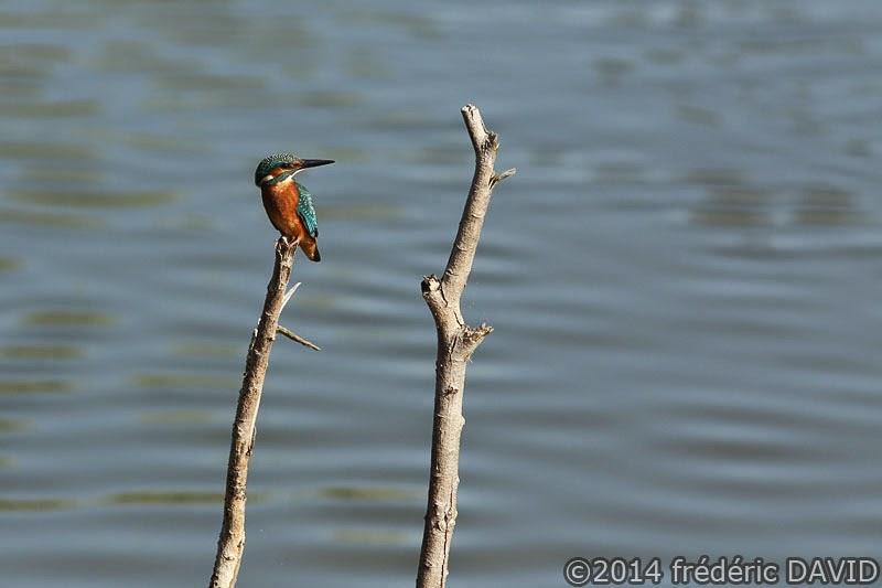 animaux oiseaux martin pêcheur Sorques Seine-et-Marne
