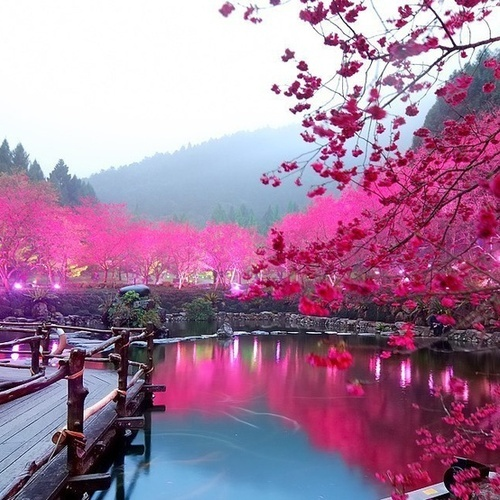 Cherry Blossom Lake, Sakura