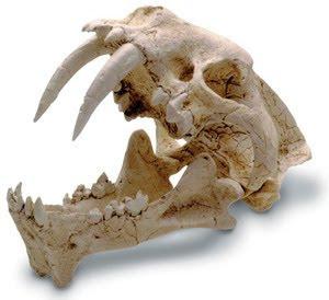 Hoplophoenus skull