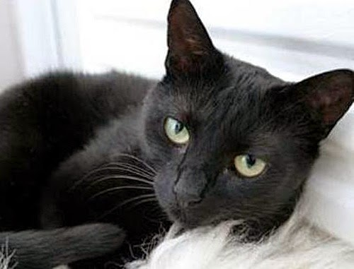 Kepercayaan karut kucing hitam, mitos kucing hitam, kepercayaan tahayul dan khurafat kucing hitam, kepercayaan masyarakat Melayu, Barat dan India tentang kucing hitam, gambar kucing hitam
