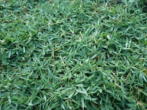 Enrich Construction Philippine Carpet Grass