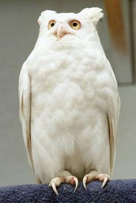 coruja albina - albino ow