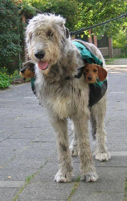 5 of the shortest living dog breeds