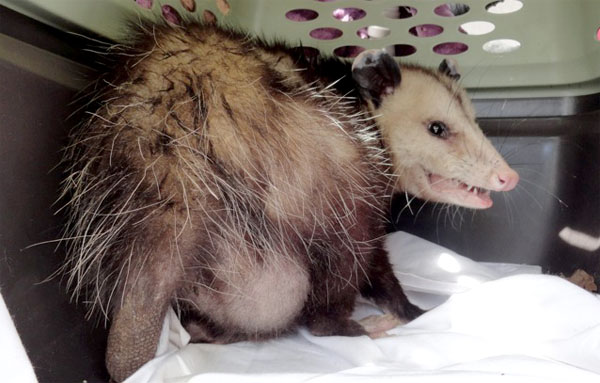 Wildlife Emergency Services blog: Opossum vs. Dogs
