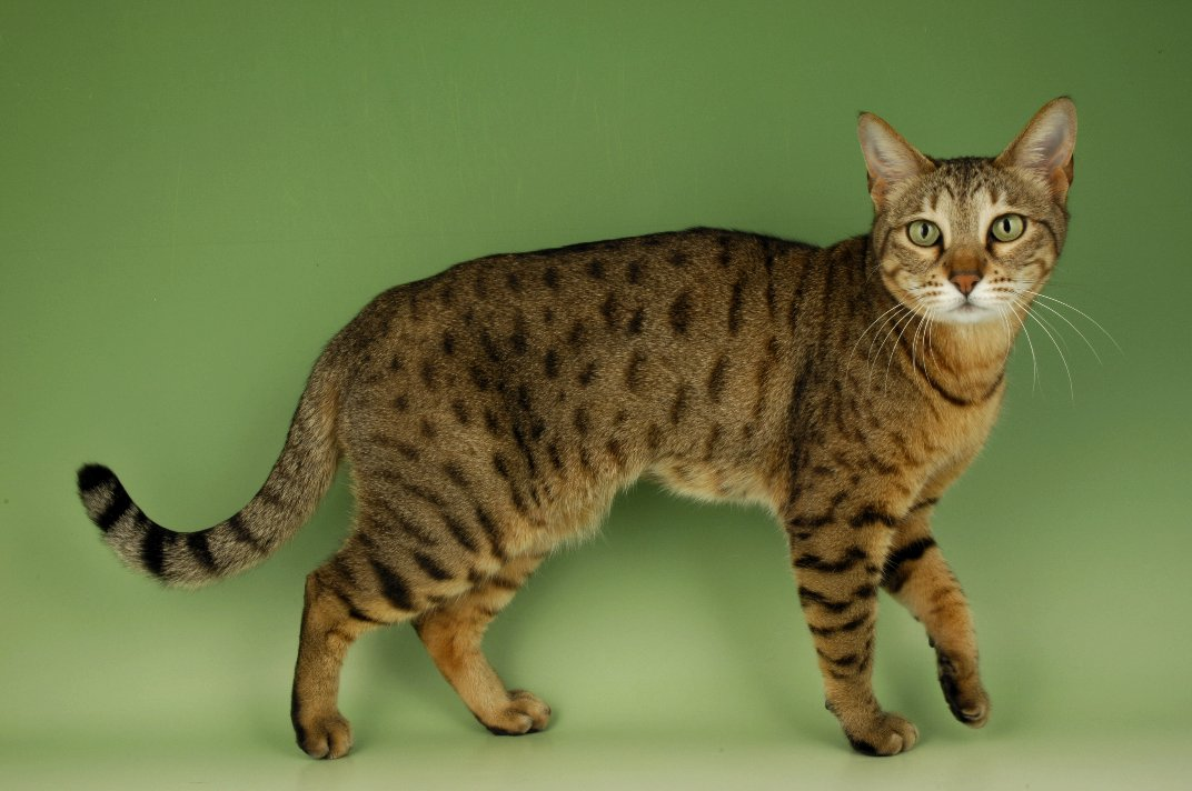 A Bengal Cats Personality Bengal Cats | Cute Cat...