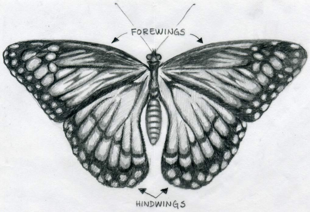 butterfly drawing 3d drawing