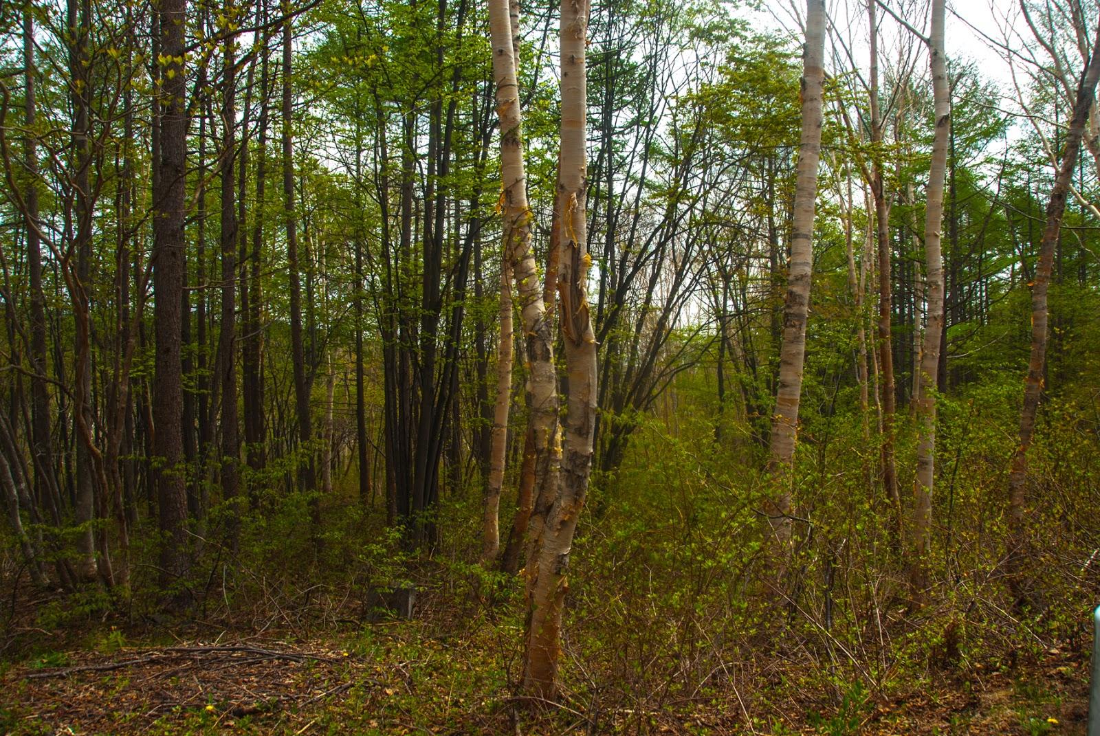 森林の中の白い木